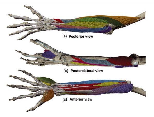 Development of an Architecturally Comprehensive Database of Forearm Flexors and Extensors from a Single Cadaveric Specimen