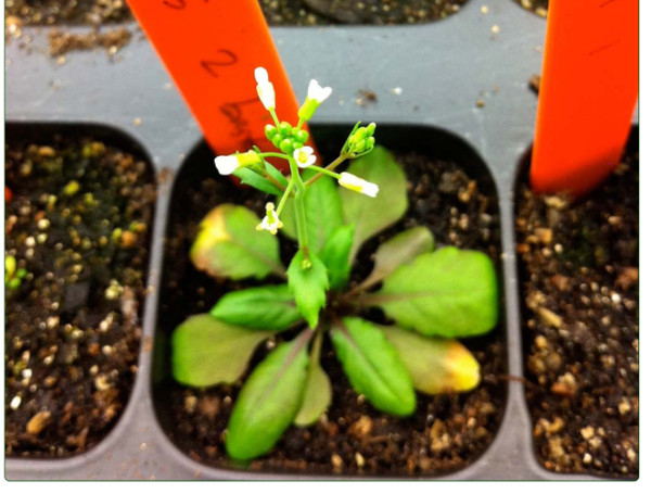 A BioBrick Compatible Strategy for Genetic Modification of Plants.